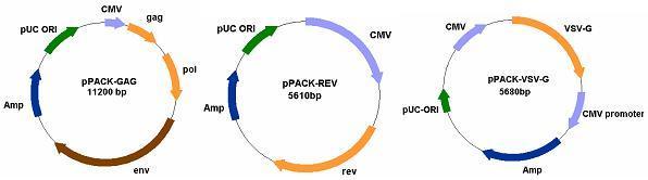 在细胞相关的实验操作中,对于一些按常规方法难以转染甚至无法转染的细胞,通过病毒介导的实验能够大大提高基因的转导效率,以达到目的基因的高效瞬时表达。 病毒转染包括以下步骤:1构建载体 2包装提纯病毒 3感染靶细胞。以慢病毒为例。 慢病毒(Lentivirus) 载体是以HIV-1(人类免疫缺陷I型病毒)为基础发展起来的基因治疗载体。区别一般的逆转录病毒载体,它对分裂细胞和非分裂细胞均具有感染能力。慢病毒 载体的研究发展得很快,研究的也非常深入。该载体可以将外源基因有效地整合到宿主染色体上,从而达到持久性表